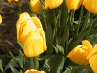 015_yellow_tulip_by_itself