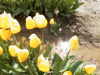 017_yellow_tulip_under_the_sun