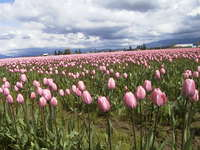 022_pink_tulips_field_from_below