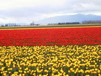 028_double_red_yellow_field