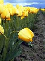 031_a_dropping_yellow_tulip