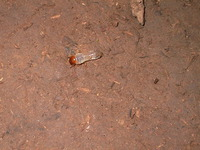 015_dirt_eating_termite