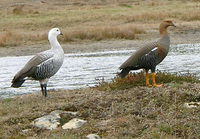 11070035_goose_couple