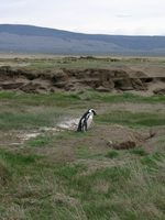 11090026_penguin_in_meditation