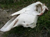 11170028_dead_cow_eaten_by_puma_or_tourists