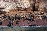 007_ballestas_-_sea_lion_colony