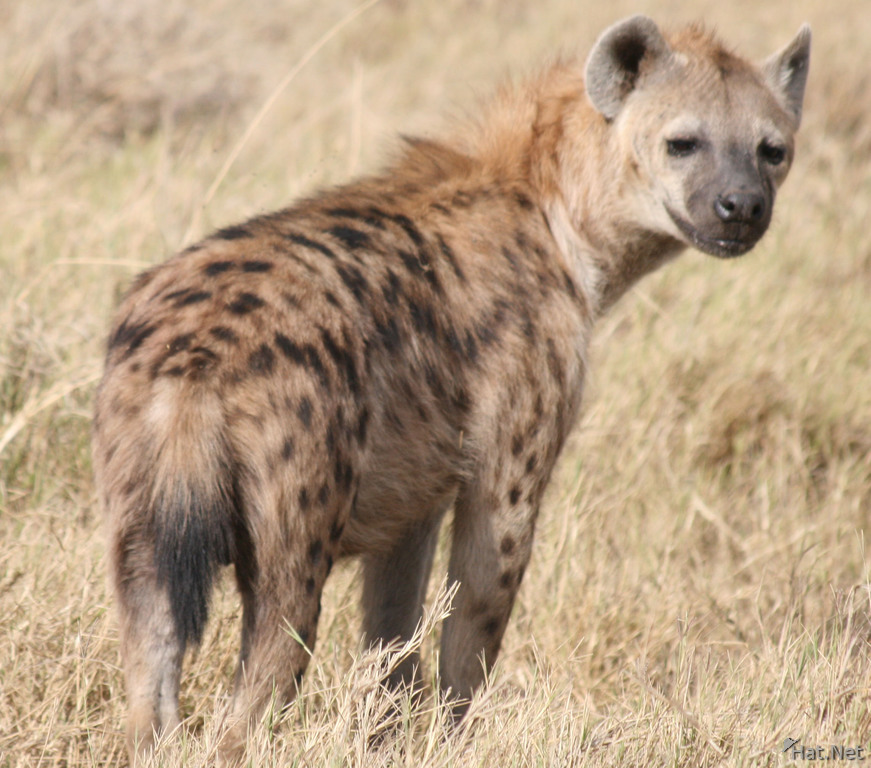 the hyena after eating albert