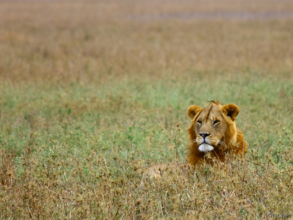 view--lion in the grass