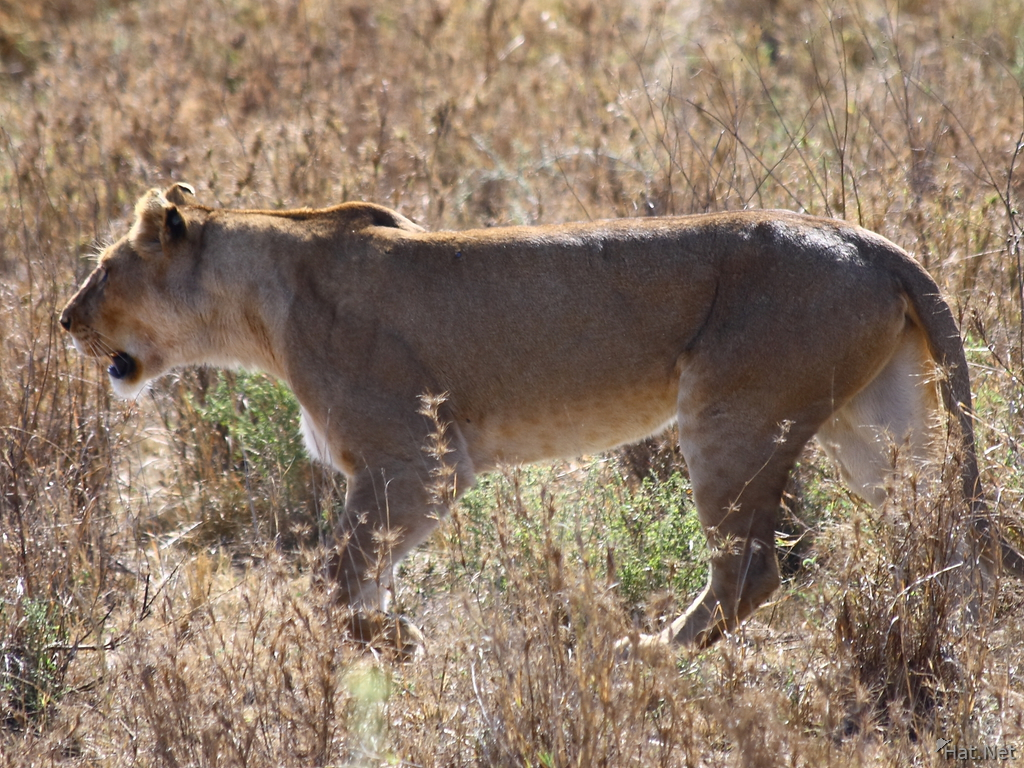 view--female lion