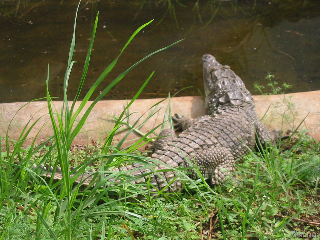nile crocodile in nairobi snake park - take a swim