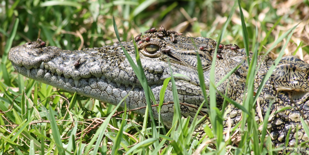 view--beetles on a baby nile crocodile