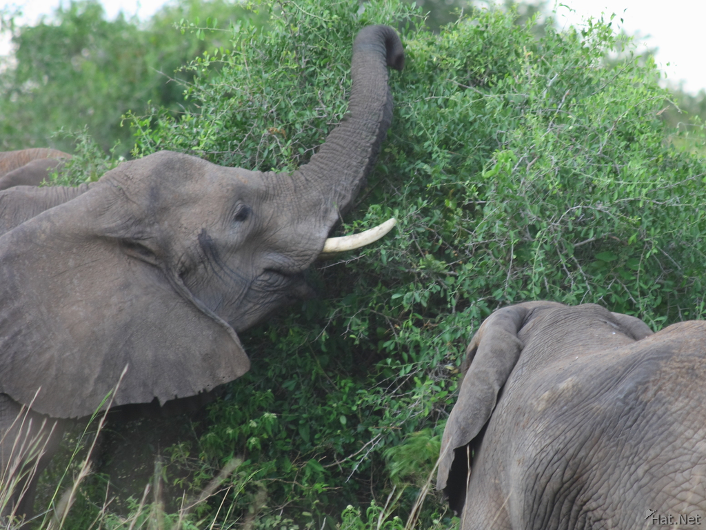 elephants of murchison falls reaching for food