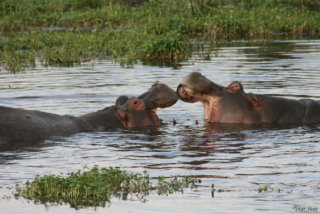 hippopotamus playing