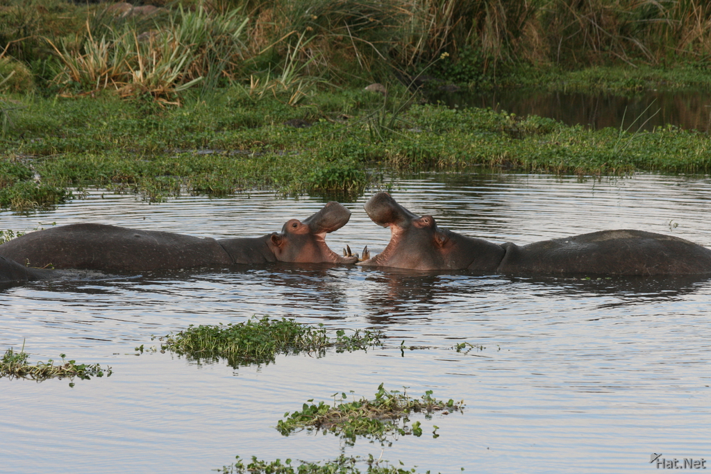 view--hippopotamus love fest