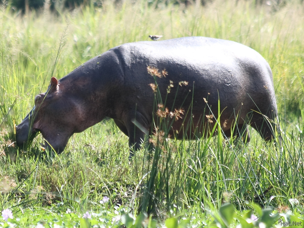 hungry hippo in murchison falls