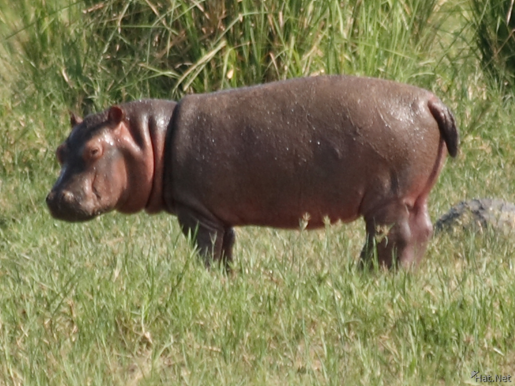view--billy the pygmy hippo