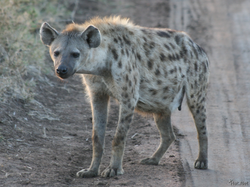 hyena at dawn