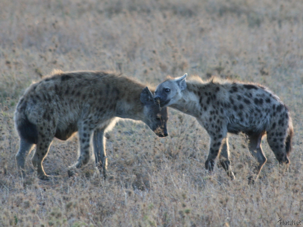 hyena kissing