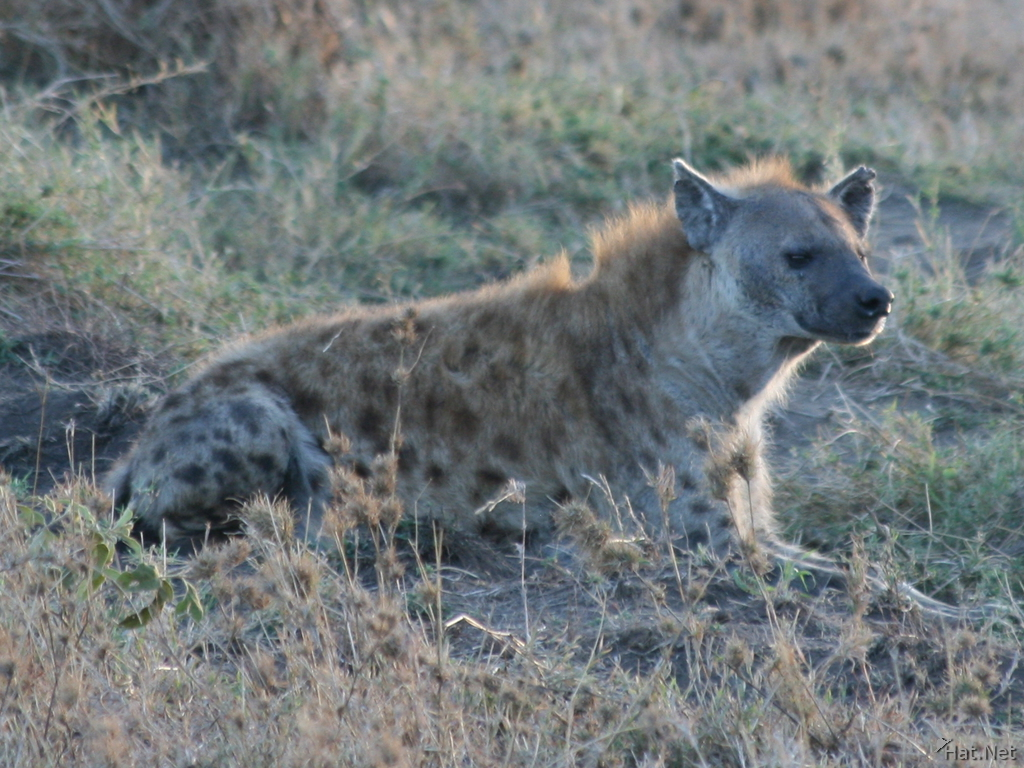 hyena waiting for prey