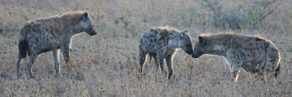 hyena says good morning