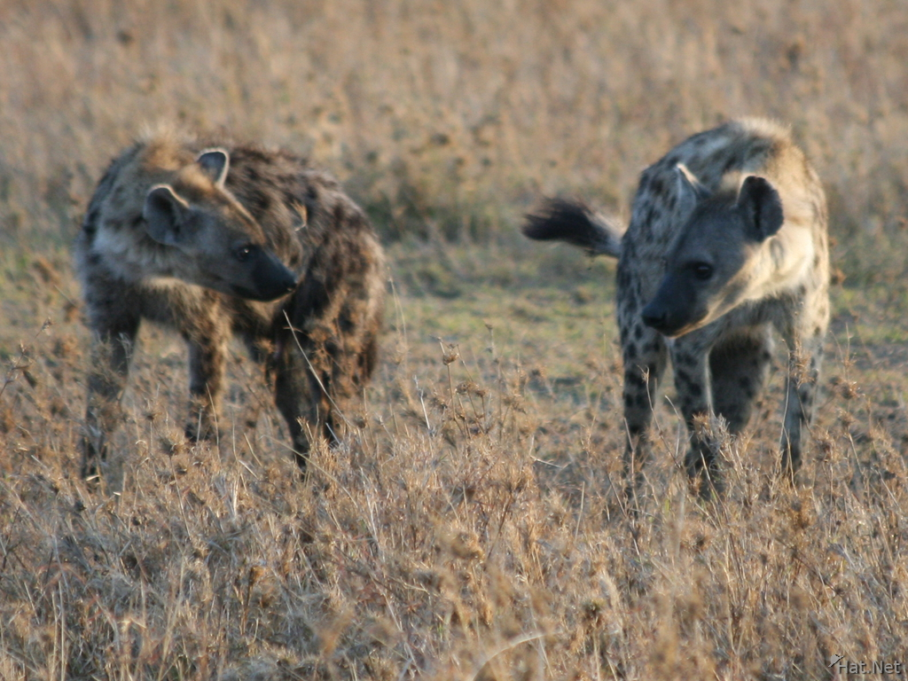 hyena fighting