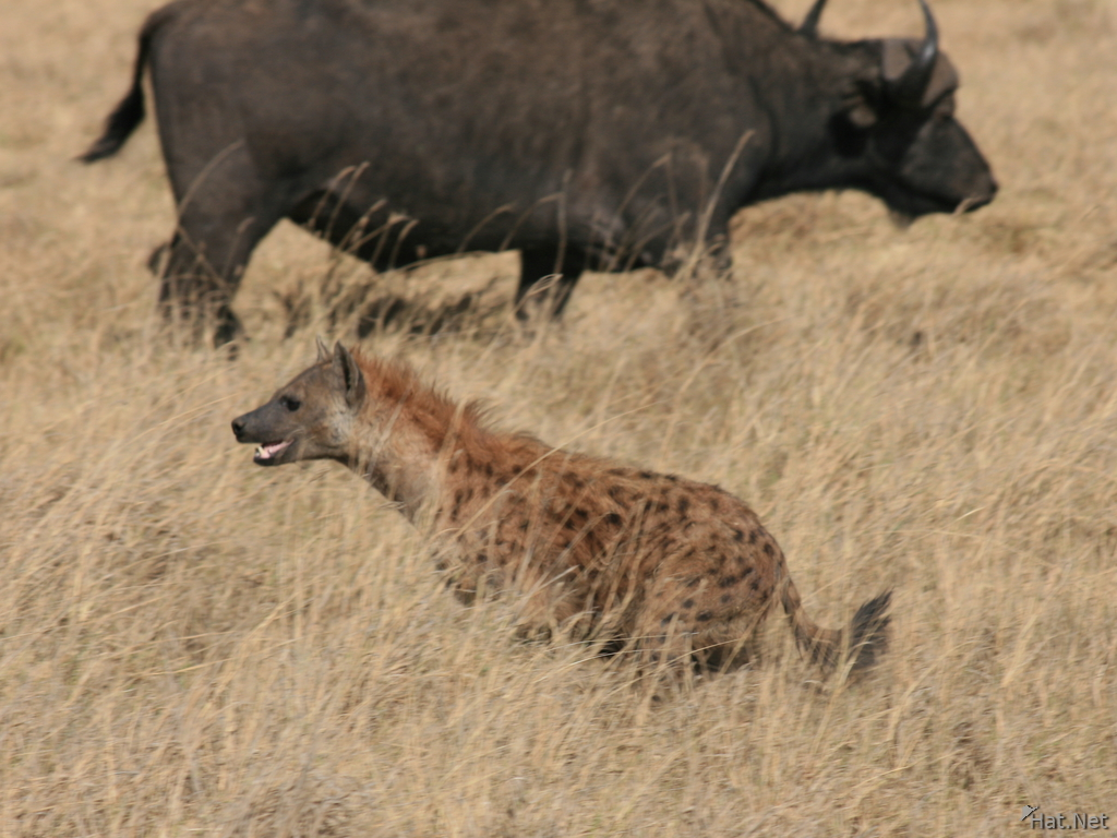 hyena hunting buffalo