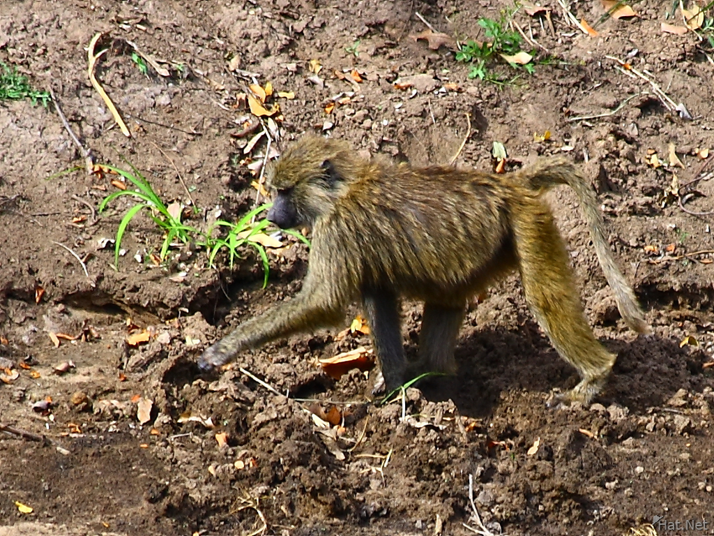baboon crossing