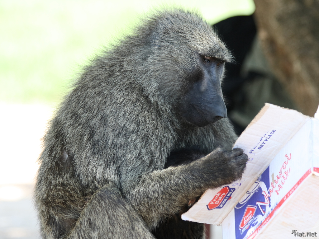 reading baboon