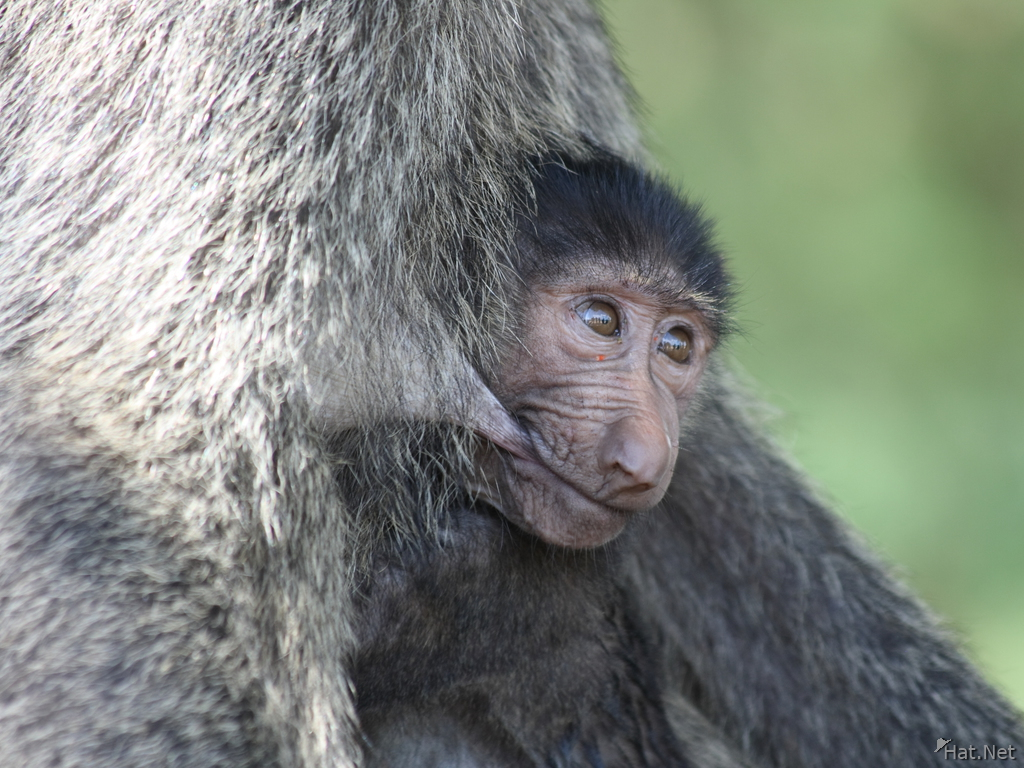 view--breast feeding the baby baboon
