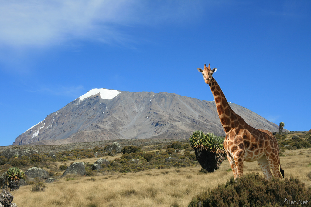 giraffe and kilimanjaro