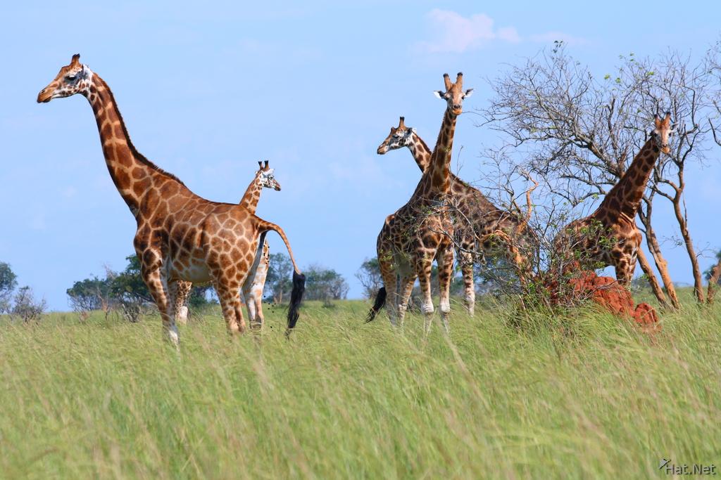 rothschild giraffe family giraffes of uganda story of