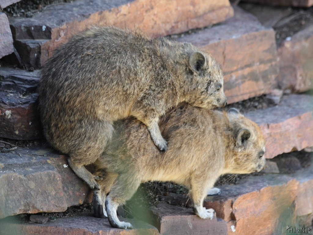 hyrax mating