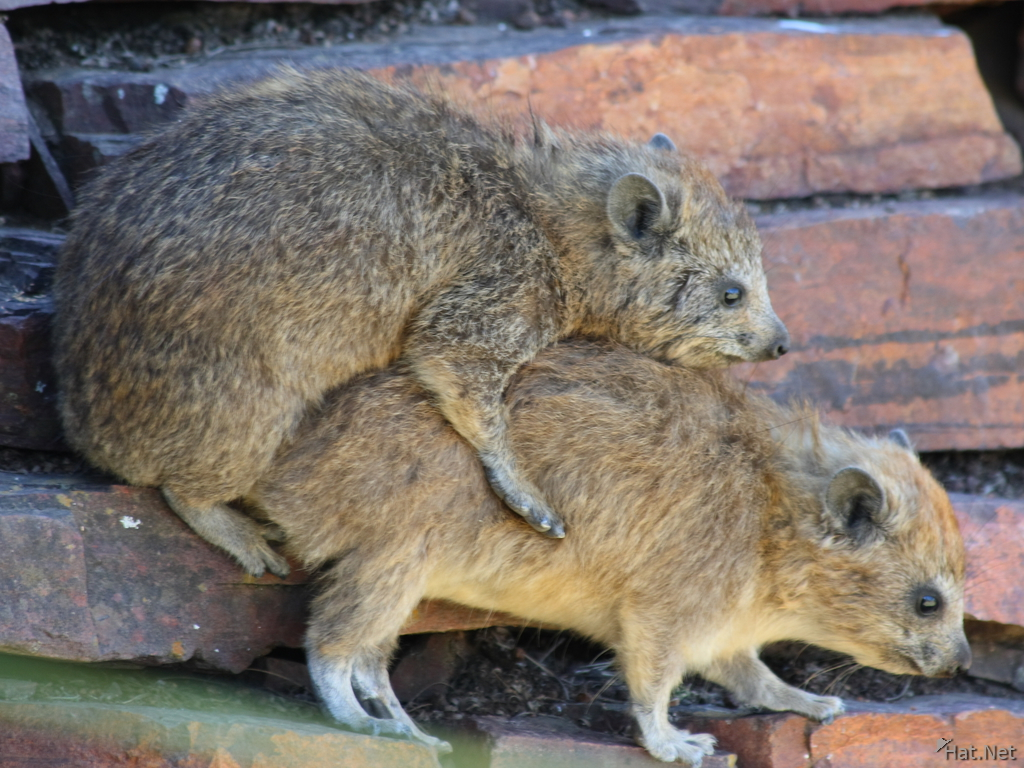 hyrax have sex