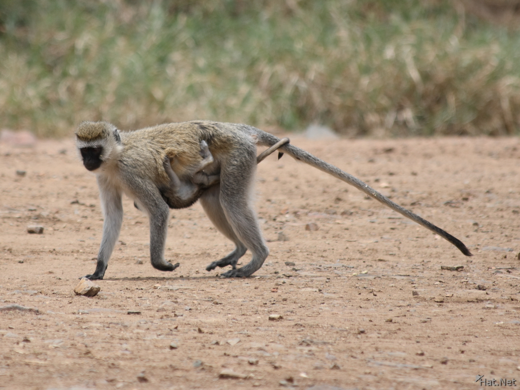 vervet monkey mother and baby
