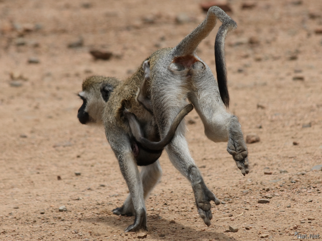 view--vervet monkey mother escape