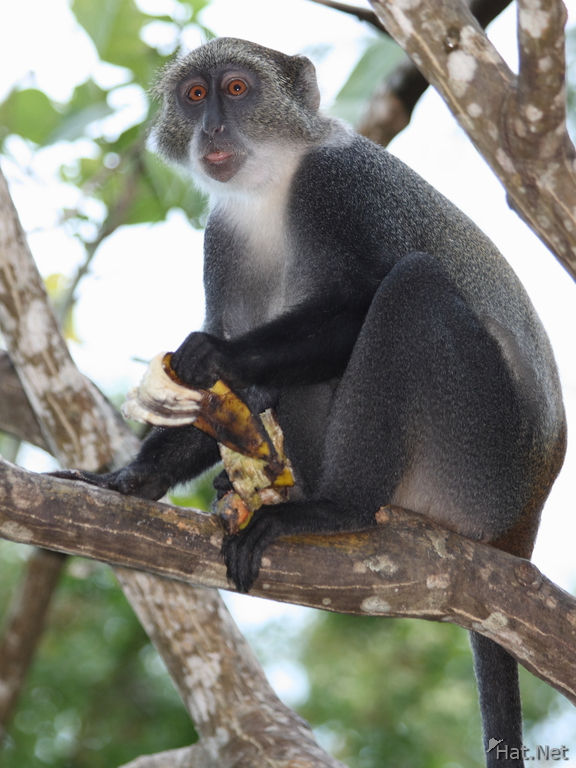 vervet monkey and bananna