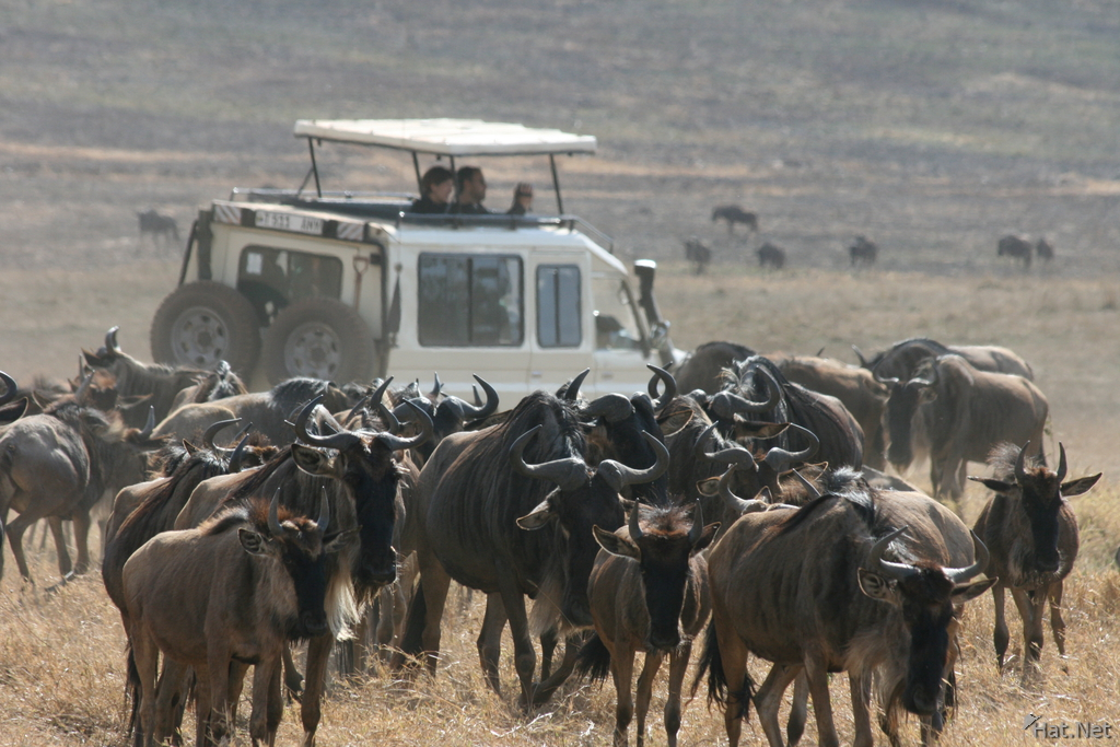 surrounded by wildebeest
