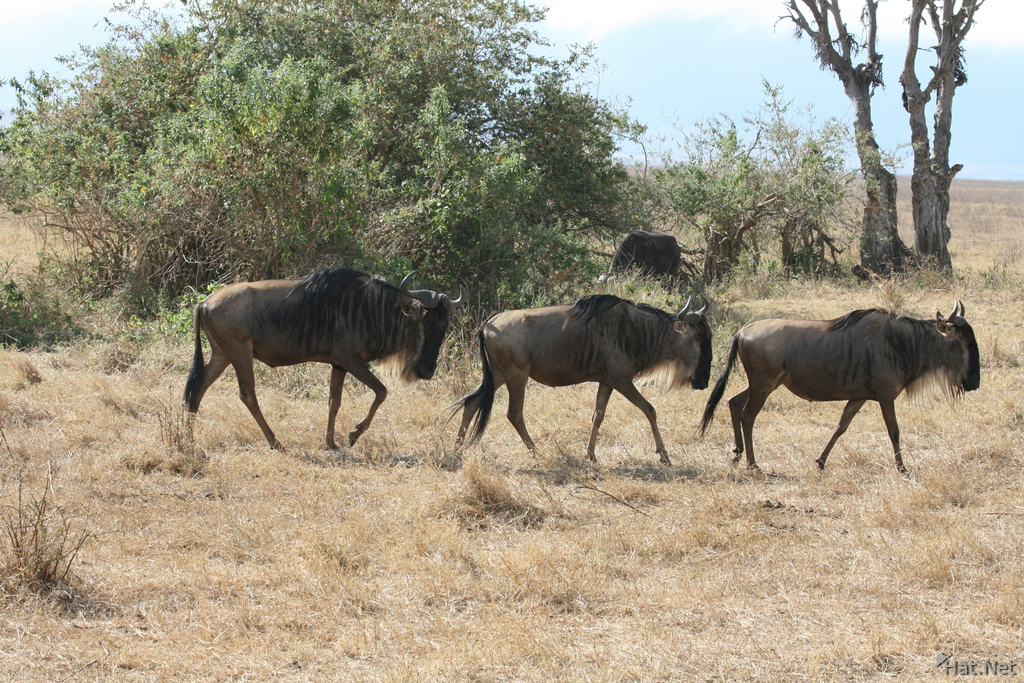 wildebeest going home