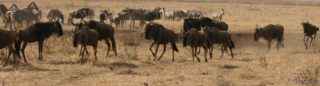 wildebeest group