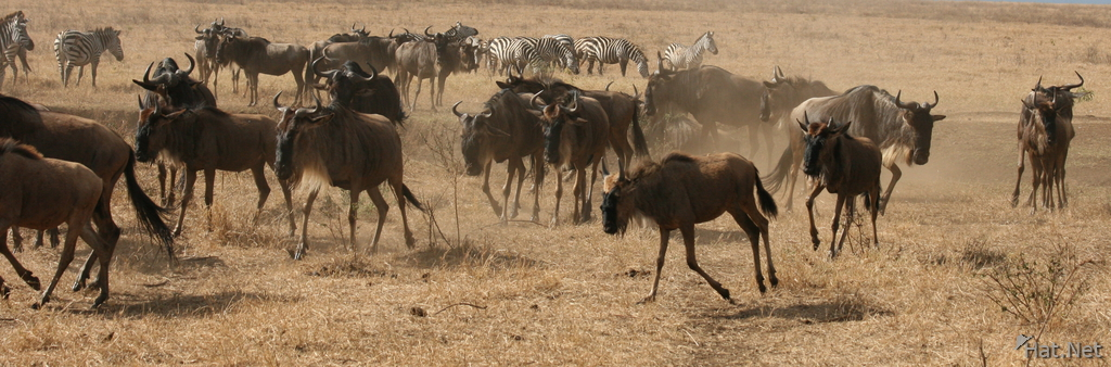 black bill ox peckers on cape buffalo