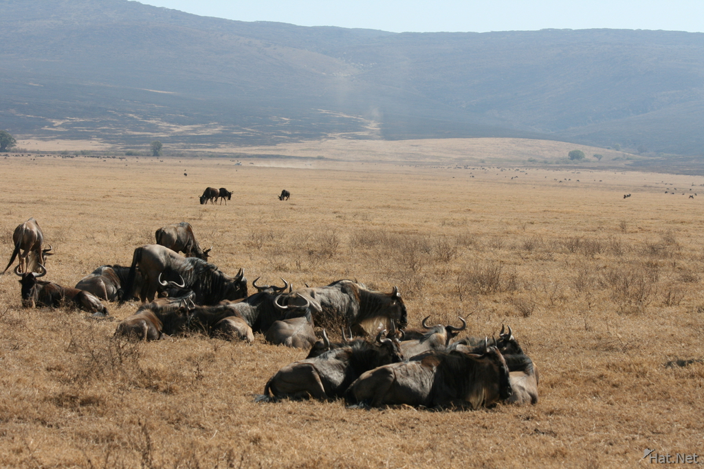 wildebeest family