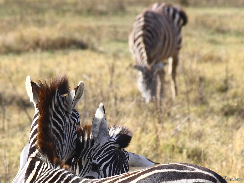 zebras kissing