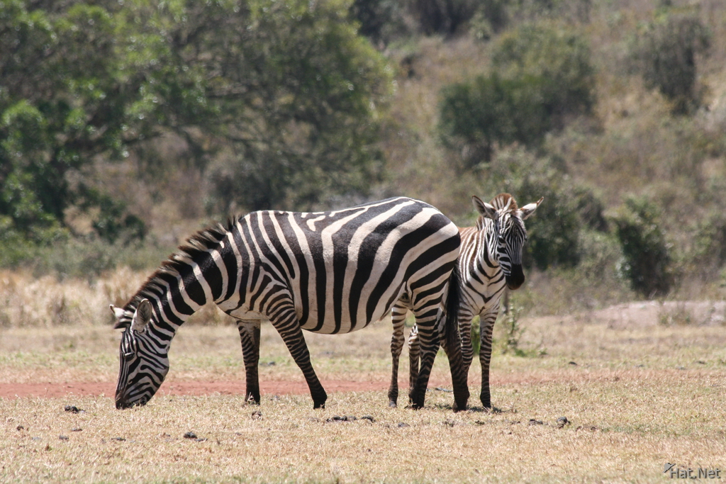 zebra monster