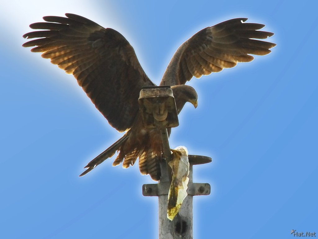 black african kite caught a fish