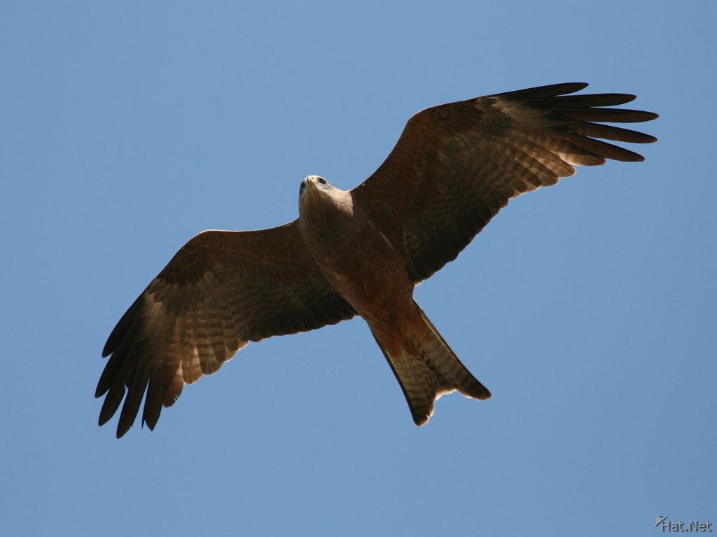 black kite in ngorongoro crater