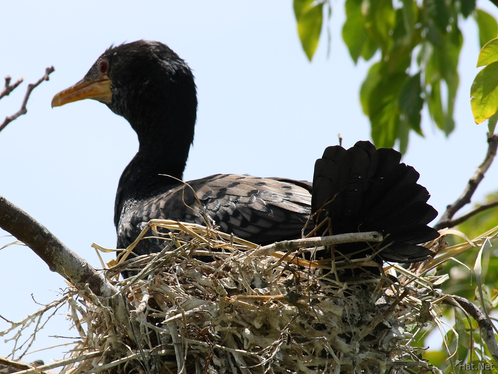 cormorant took over the nest of a egret