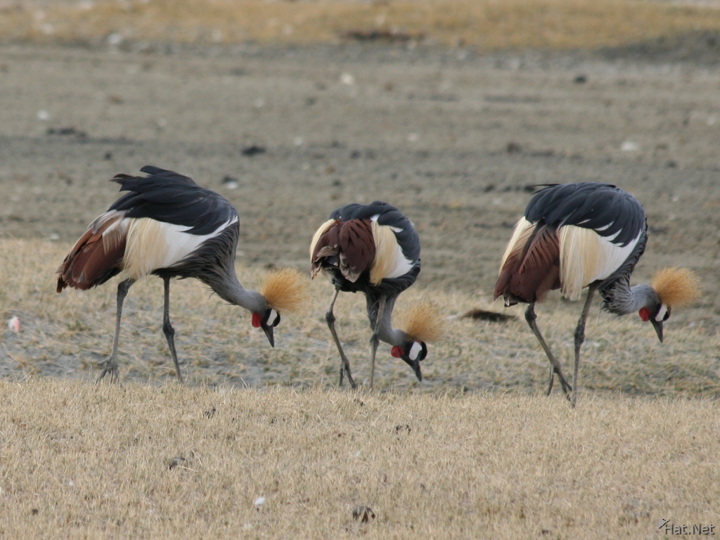 three crowned crane