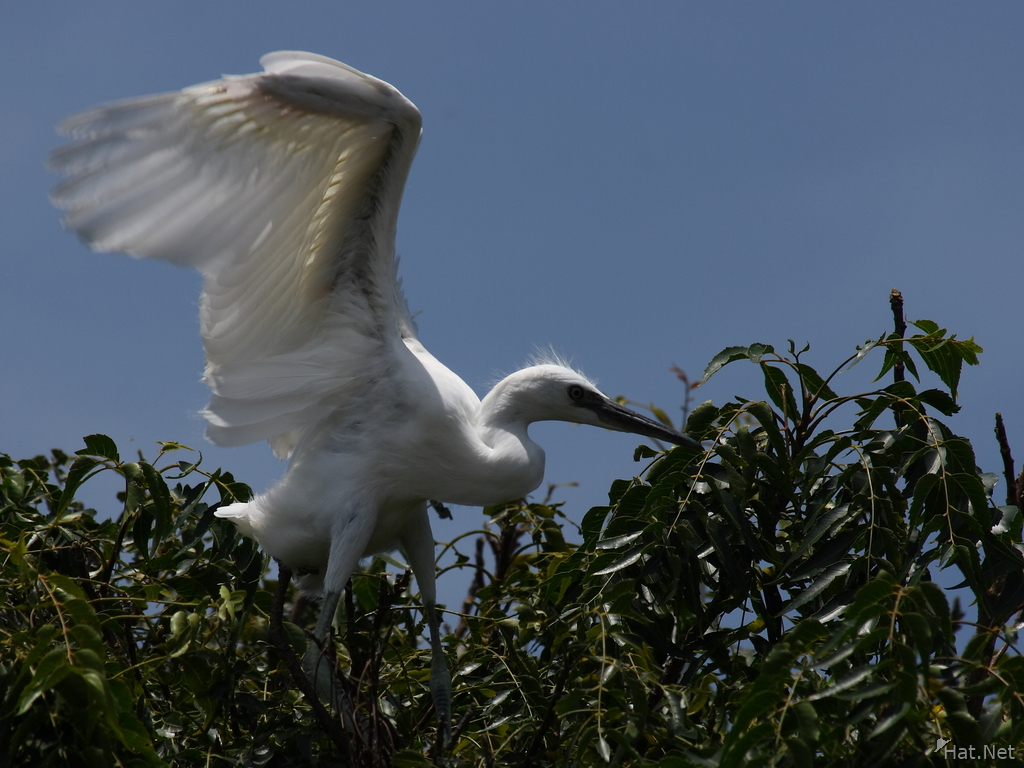 little egret takes off