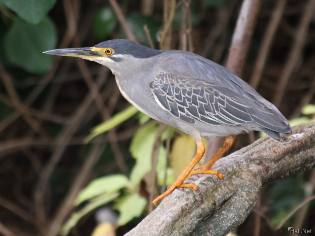 view--night heron