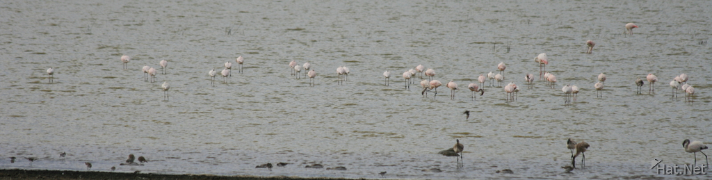 large group of flamingoes